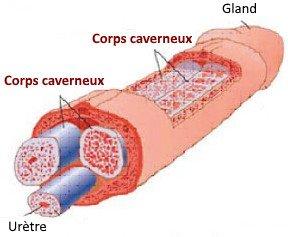 Des vaisseaux sanguins contractés causent la dysfonction érectile